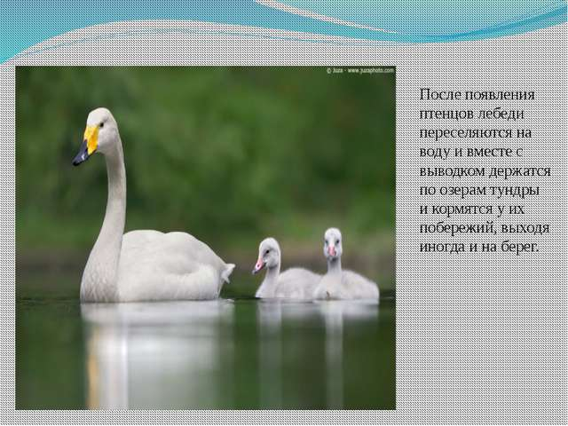 После появления птенцов лебеди переселяются на воду и вместе с выводком держа...