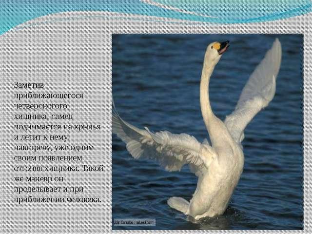 Заметив приближающегося четвероногого хищника, самец поднимается на крылья и...