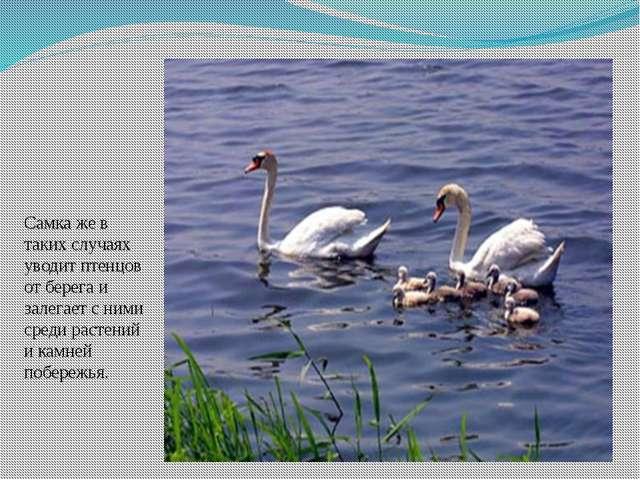 Самка же в таких случаях уводит птенцов от берега и залегает с ними среди рас...