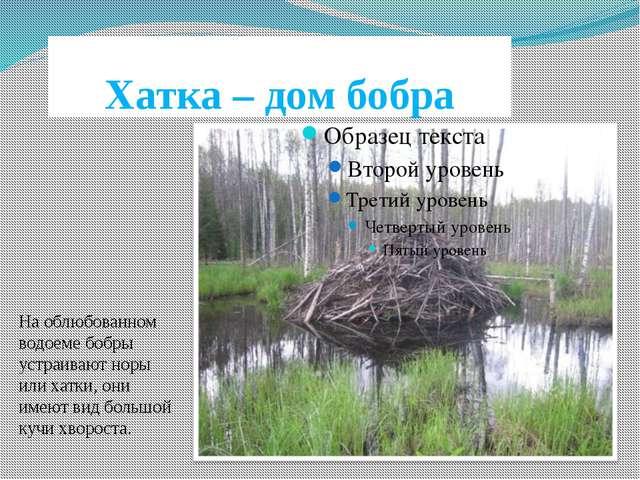 Хатка – дом бобра На облюбованном водоеме бобры устраивают норы или хатки, он...