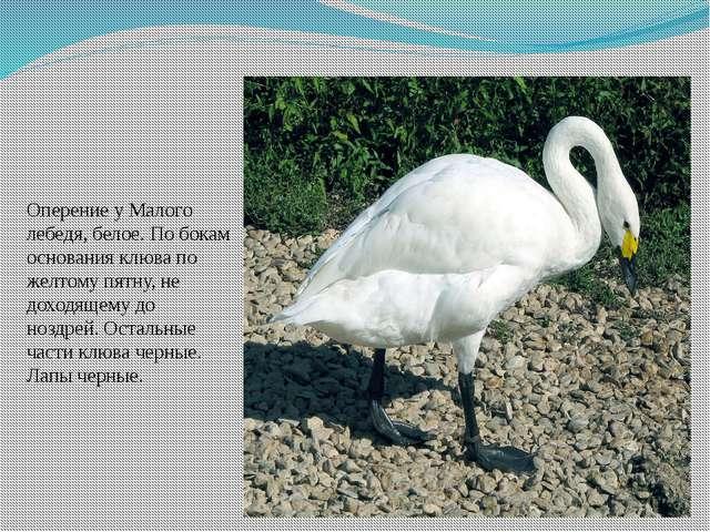 Оперение у Малого лебедя, белое. По бокам основания клюва по желтому пятну, н...