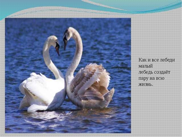 Как и все лебеди малый лебедьсоздаёт пару на всю жизнь.