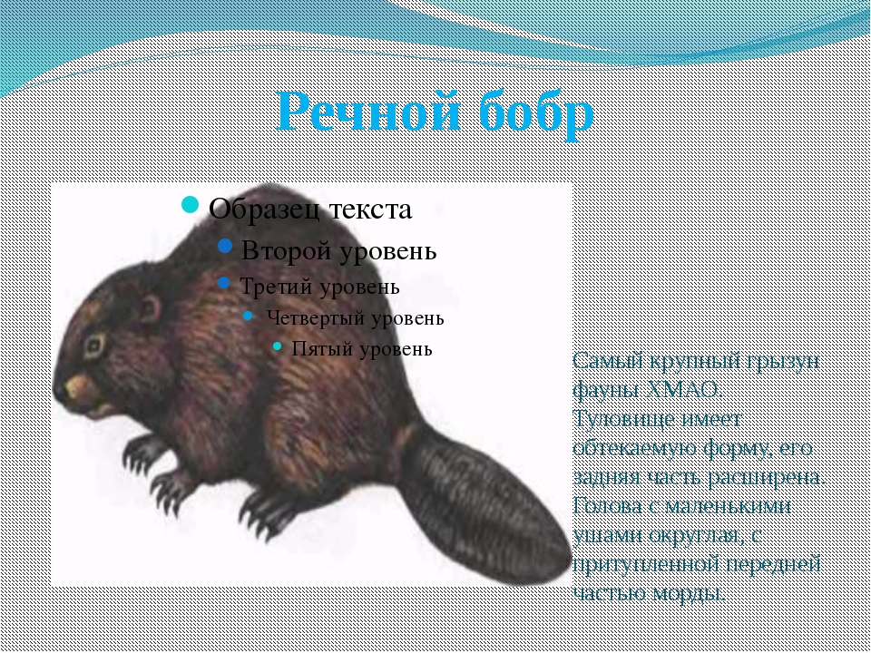 Речной бобр Самый крупный грызун фауны ХМАО. Туловище имеет обтекаемую форму,...