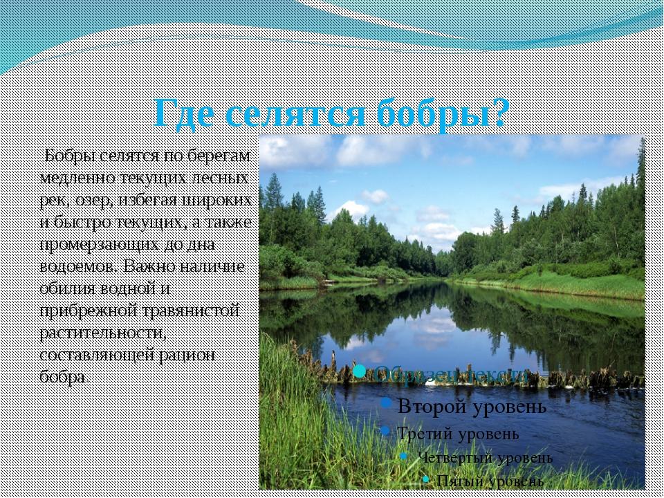 Где селятся бобры? Бобры селятся по берегам медленно текущих лесных рек, озер...