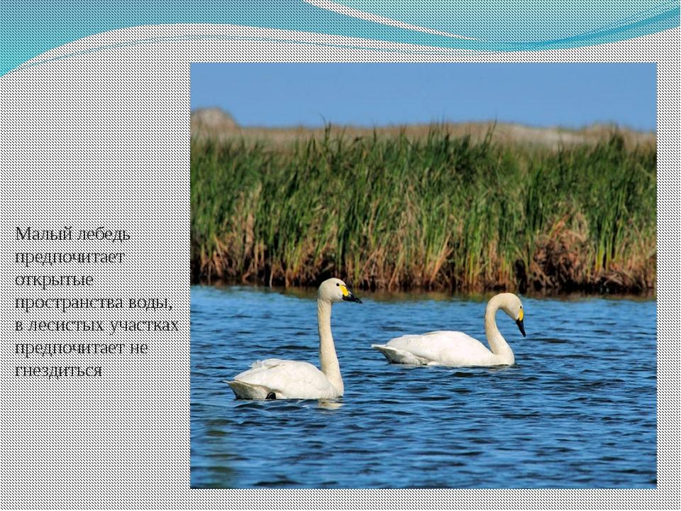 Малый лебедь предпочитает открытые пространства воды, в лесистых участках пре...