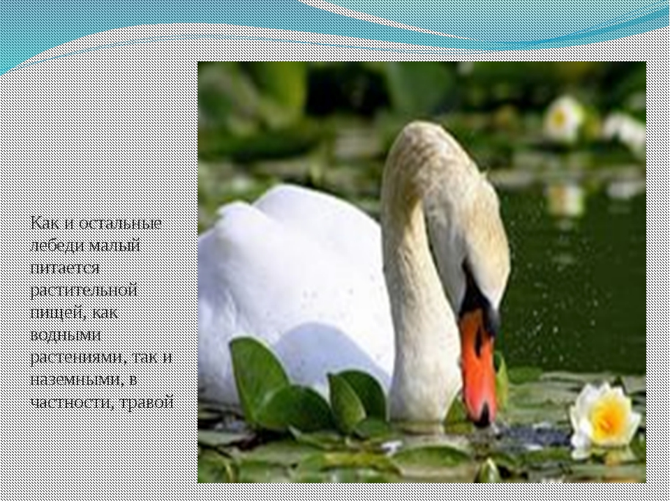 Как и остальные лебеди малый питается растительной пищей, как водными растени...