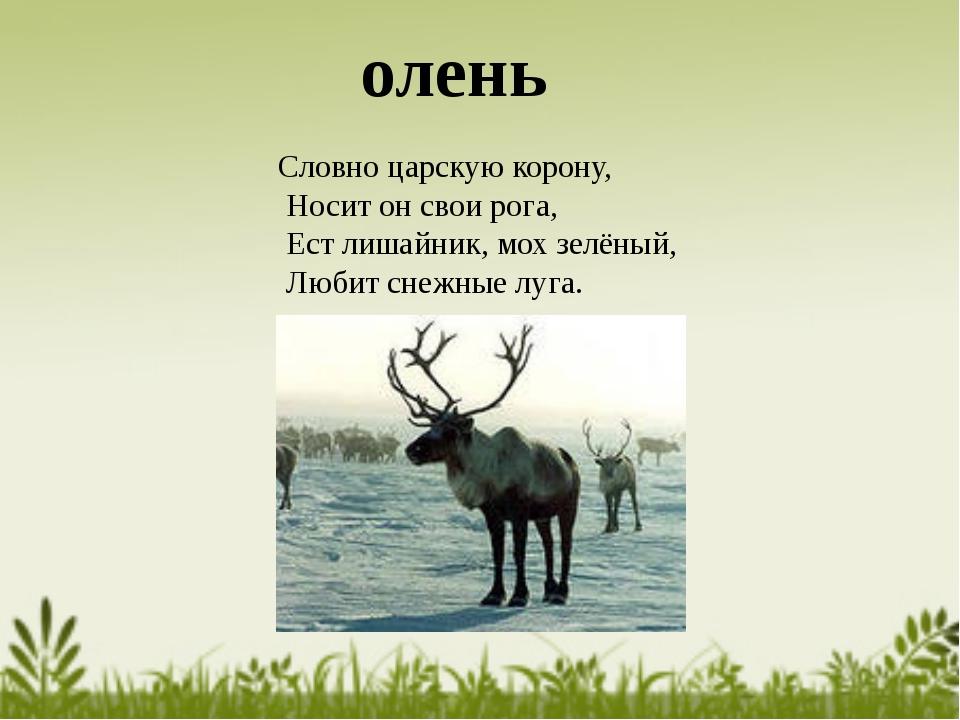 Словно царскую корону, Носит он свои рога, Ест лишайник, мох зелёный, Любит с...