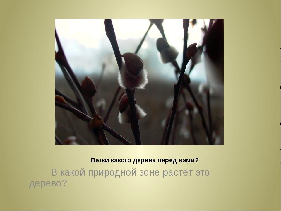 Ветки какого дерева перед вами? В какой природной зоне растёт это дерево?