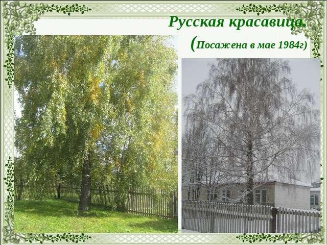 Русская красавица. (Посажена в мае 1984г)