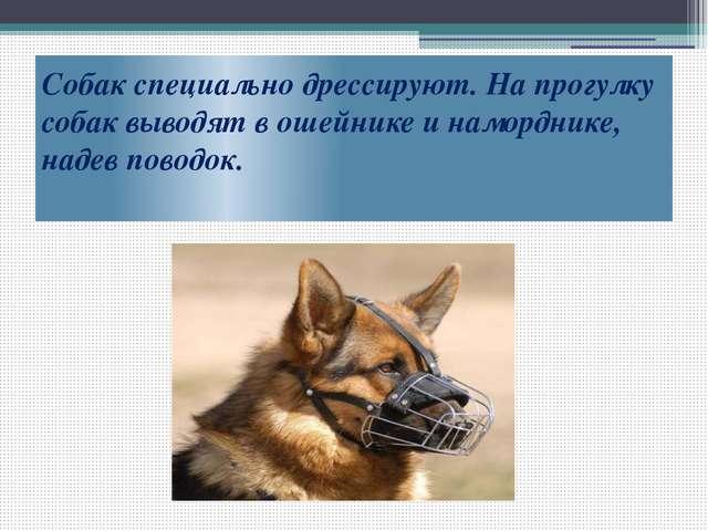 Собак специально дрессируют. На прогулку собак выводят в ошейнике и намордник...