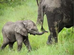 Задача. Вес слонёнка составляет 1 т. Это 2/5 от веса слонихи. А вес слонихи с