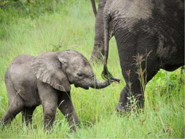 Задача. Вес слонёнка составляет 1 т. Это 2/5 от веса слонихи. А вес слонихи с...