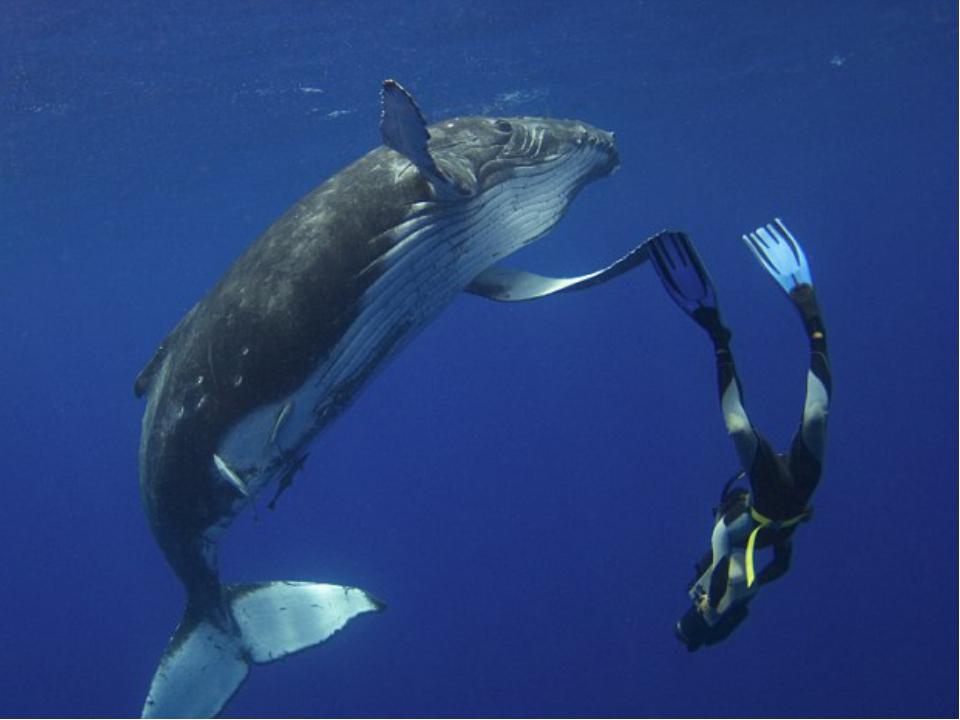 Длина взрослого кита 35 метров, а длина китёнка составляет 20% от длины его...