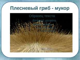 Плесневый гриб - мукор