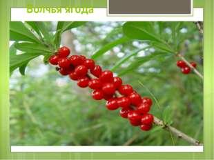 Волчья ягода Все части растения (свежего и высушенного) очень ядовиты, в особ