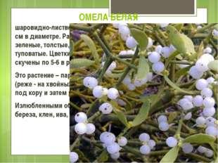 ОМЕЛА БЕЛАЯ шаровидно-лиственный вечнозеленый кустарник от 20 до 120 см в диа