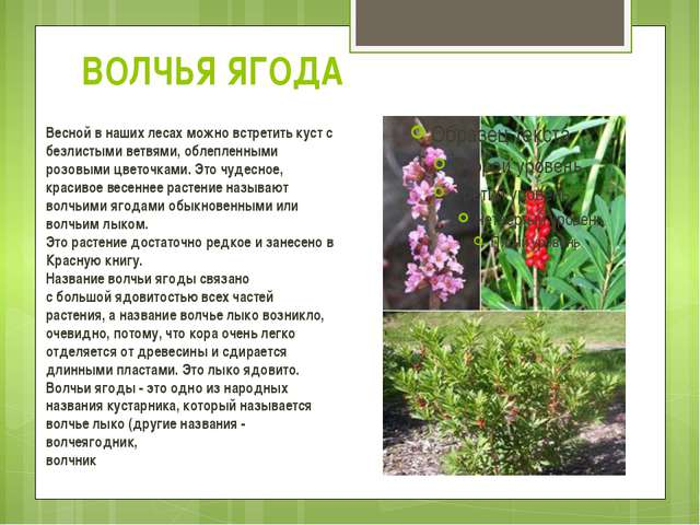 ВОЛЧЬЯ ЯГОДА Весной в наших лесах можно встретить куст с безлистыми ветвями,...