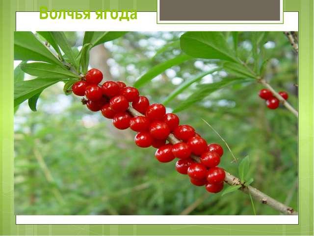 Волчья ягода Все части растения (свежего и высушенного) очень ядовиты, в особ...