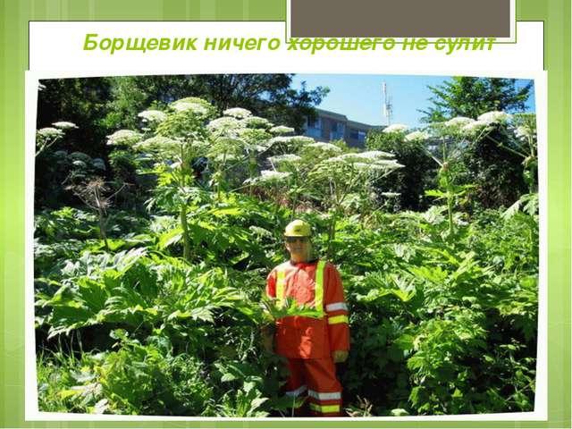 Борщевик ничего хорошего не сулит Гигант среди трав Борщевик- растение може...