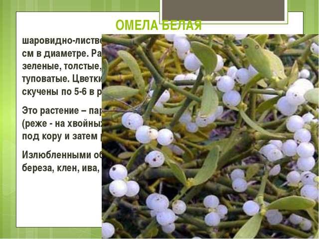 ОМЕЛА БЕЛАЯ шаровидно-лиственный вечнозеленый кустарник от 20 до 120 см в диа...
