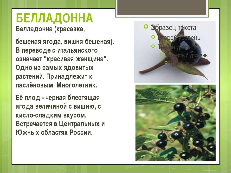 БЕЛЛАДОННА Белладонна(красавка, бешеная ягода,вишня бешеная). В переводе с...