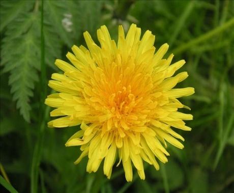 Обои на Рабочий стол :: Фото :: цветы :: Желтый одуванчик :: по 1 :: Страница 3