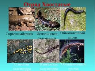 Отряд Хвостатые Скрытожаберник Исполинская саламандра Обыкновенный сирен Огне