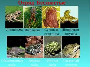 Отряд Бесхвостые Лиопельма Жерлянка Суринам- ская пипа Шпорцевая лягушка Обык