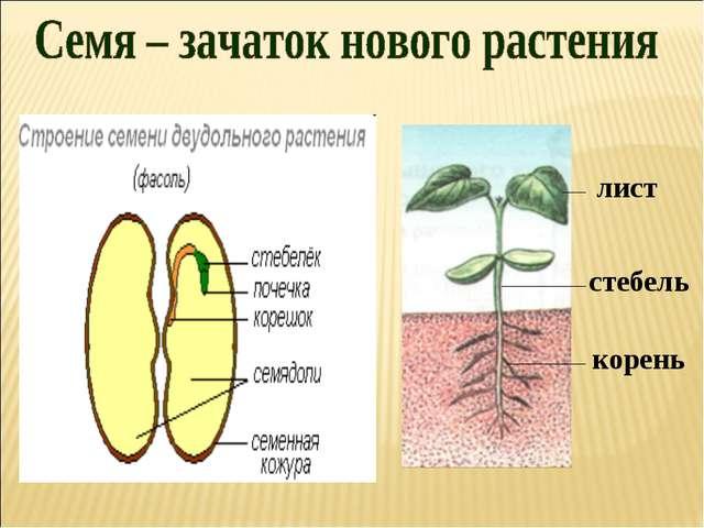 лист стебель корень