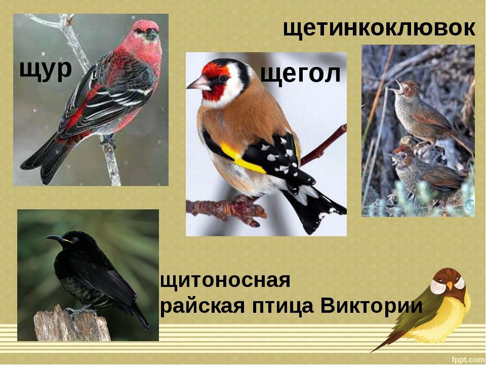 щур щегол щетинкоклювок щитоносная райская птица Виктории