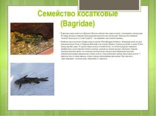 Семейство косатковые (Bagridae) В пресных водах советского Дальнего Востока о