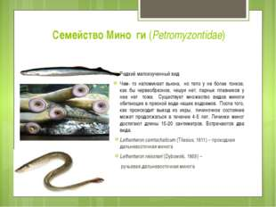 Семейство Мино́ги (Petromyzontidae) Редкий малоизученный вид Чем- то напомин