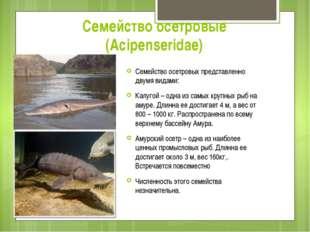 Семейство осетровые (Acipenseridae) Семейство осетровых представленно двумя в