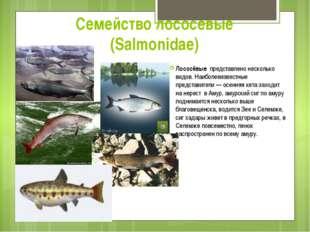 Семейство лососевые (Salmonidae) Лососёвые представлено несколько видов. Наиб
