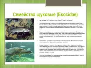 Семейство щуковые (Esocidae) Аму́рская щу́ка[ Встречается только в бассейне А