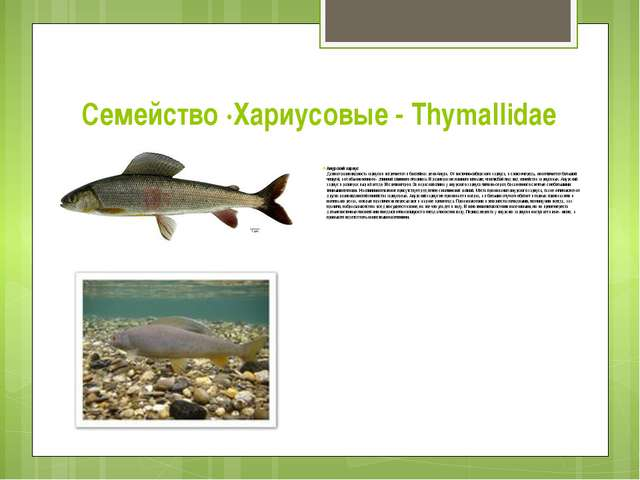 Семейство ·Хариусовые - Thymallidae Амурский хариус Данная разновидность хари...