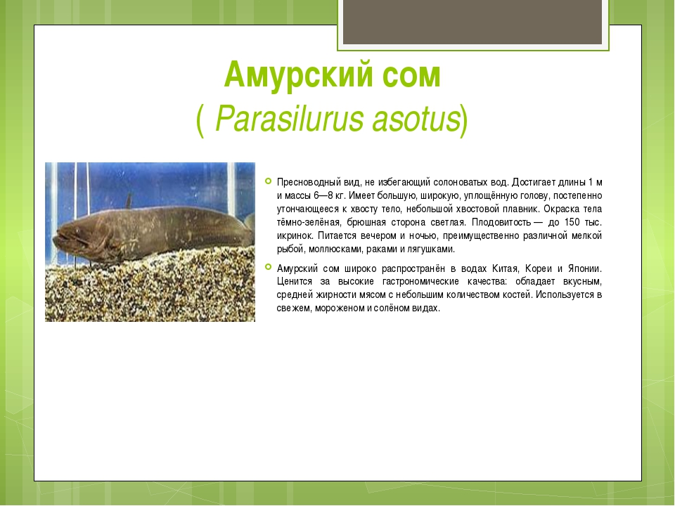 Амурский сом (Parasilurus asotus) Пресноводный вид, не избегающий солоноват...