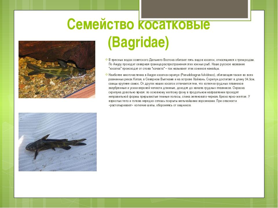 Семейство косатковые (Bagridae) В пресных водах советского Дальнего Востока о...