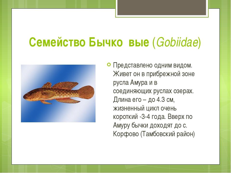 Семейство Бычко́вые (Gobiidae) Представлено одним видом. Живет он в прибрежно...