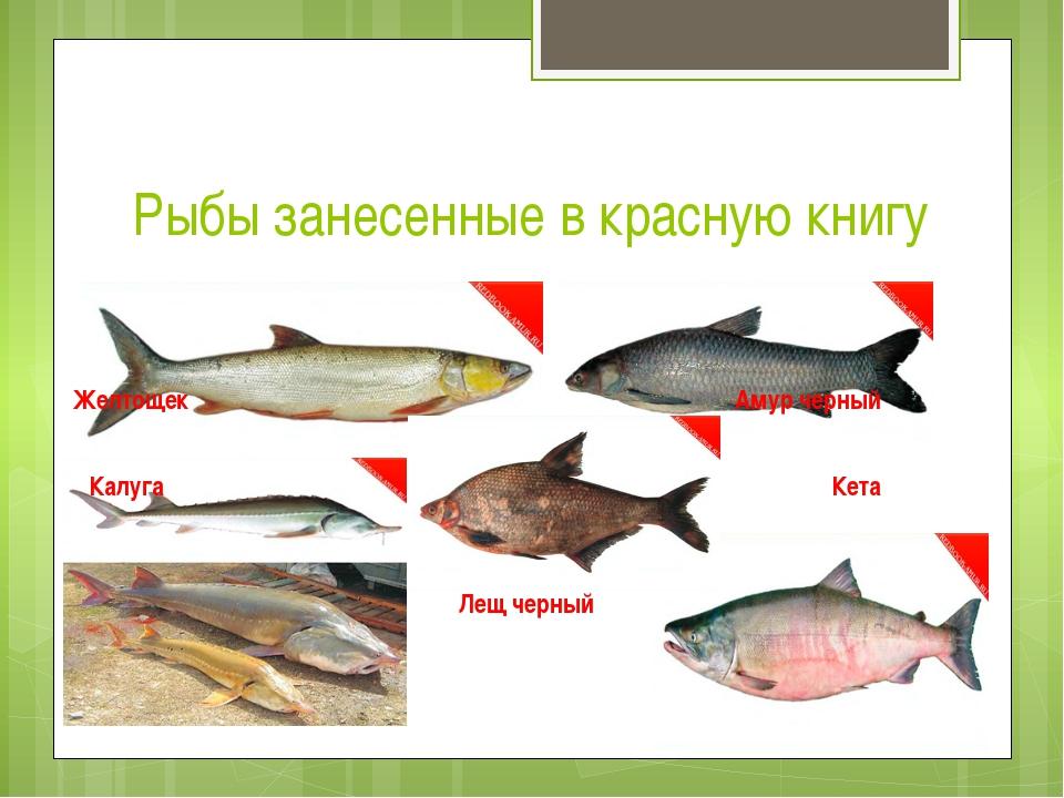 Рыбы занесенные в красную книгу Желтощек Амур черный Калуга Кета Лещ черный