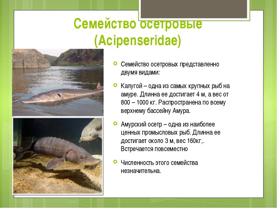 Семейство осетровые (Acipenseridae) Семейство осетровых представленно двумя в...