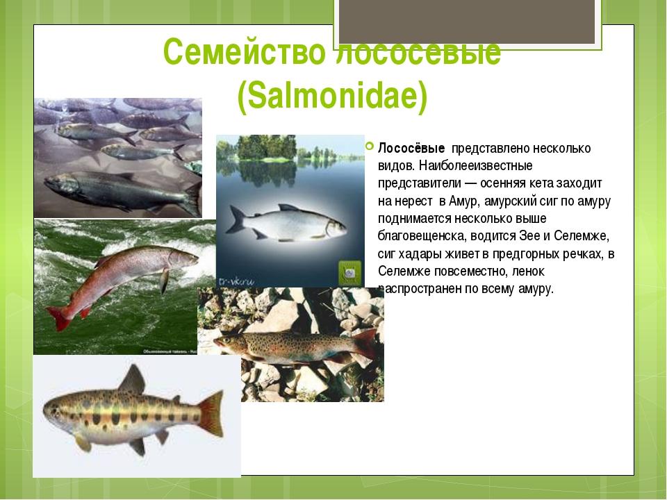Семейство лососевые (Salmonidae) Лососёвые представлено несколько видов. Наиб...