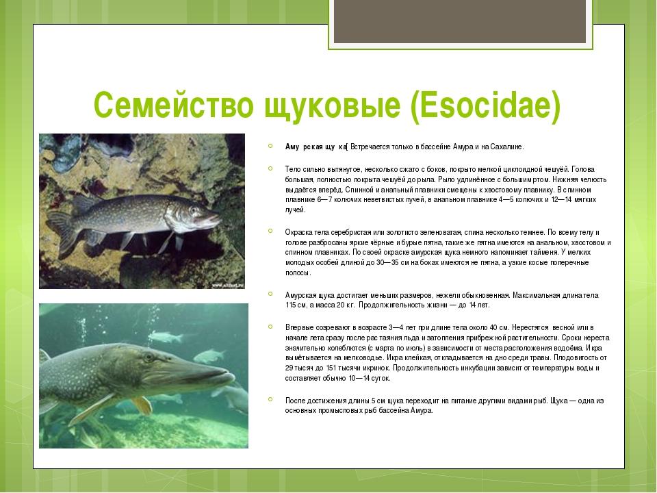 Семейство щуковые (Esocidae) Аму́рская щу́ка[ Встречается только в бассейне А...
