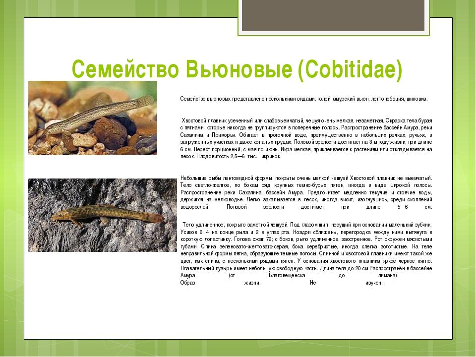 Семейство Вьюновые (Cobitidae) Семейство вьюновых представлено несколькими ви...