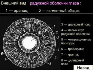 3 — зрачковый пояс; 4 — малый круг радужной оболочки; 5 — контракционные боро