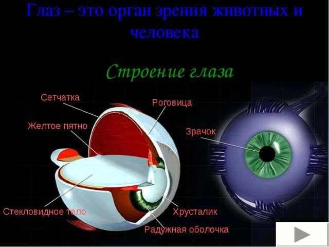 Глаз – это орган зрения животных и человека Строение глаза Сетчатка Желтое пя...