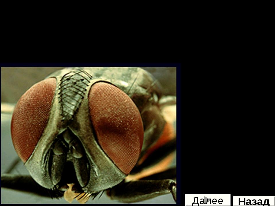 Как видят насекомые Глаза насекомых, как правило, состоят из многочисленных ф...