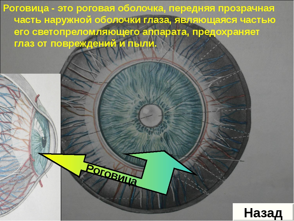 Роговица - это роговая оболочка, передняя прозрачная часть наружной оболочки...