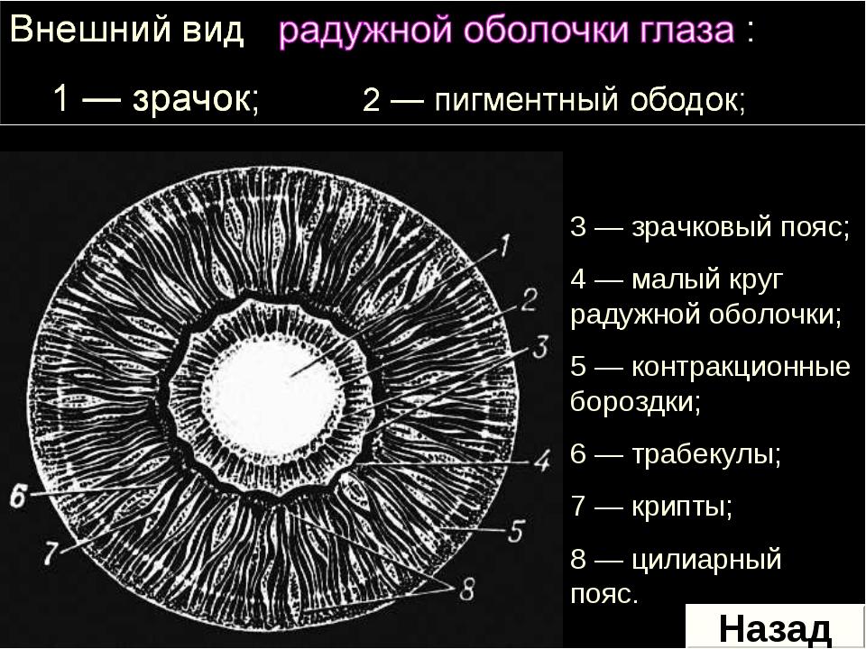 3 — зрачковый пояс; 4 — малый круг радужной оболочки; 5 — контракционные боро...