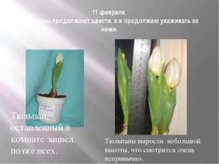11 февраля. Тюльпаны продолжают цвести, а я продолжаю ухаживать за ними. Тюль